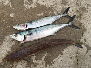 釣果:サゴシとエソ